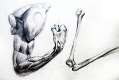 Anatomy Muscles.Drawing studio works Royalty Free Stock Photos