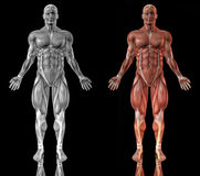 Anatomy of muscular man Royalty Free Stock Images