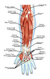 Anatomy of muscular system - hand, forearm, palm m Stock Photography