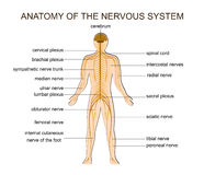 ANATOMY OF THE NERVOUS SYSTEM. ILLUSTRATION OF THE STRUCTURE OF THE HUMAN NERVOUS SYSTEM Royalty Free Stock Photos