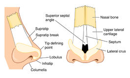 Anatomy of the nose. Front and side views of the nose showing major structural features Royalty Free Stock Photos