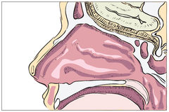 Anatomy of the nose stock illustration