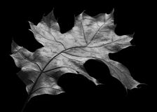 Anatomy of an Oak Leaf. Black & White close-up of a dried autumn oak leaf. Isolated on a black background Royalty Free Stock Photo