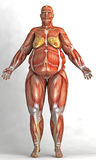 Anatomy of an obese woman Stock Image