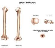 Anatomy Of Humerus Royalty Free Stock Photos