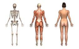 Anatomy Overlays Female Back Stock Photos