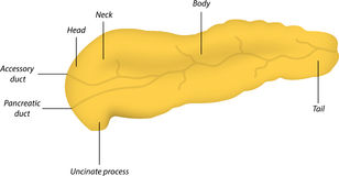 Anatomy of the Pancreas. The anatomy of the pancreas Royalty Free Stock Photo