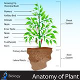 Anatomy of Plant