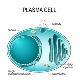 Anatomy of a Plasma cell, or B cell, or plasmocyte. vector illustration