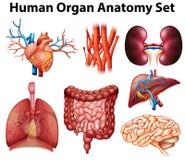 Anatomy royalty free illustration