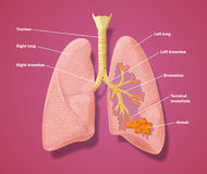 Anatomy of respiratory tract. Drawing of the trachea, bronchi and lungs showing bronchioles and alveoli Stock Images