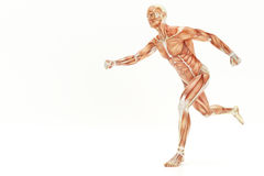 Anatomy of running human body, muscles- 3D Rendering. Anatomy of running human body, muscles - 3D Rendering Stock Image