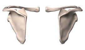 Anatomy of shoulder bone Stock Image