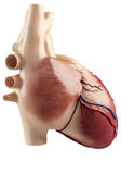 Anatomy Of the side view of the heart interior Stock Photo