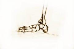 Anatomy Skeleton. Drawing studio works Stock Images