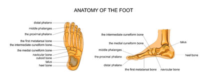 Anatomy of a skeleton foot. Vector illustration of anatomy of the skeleton of the foot Stock Image