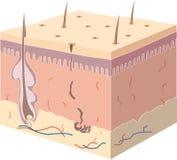 Anatomy skin Stock Image