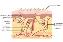 Anatomy of Skin. Illustration of anatomy of skin with label on white background stock illustration