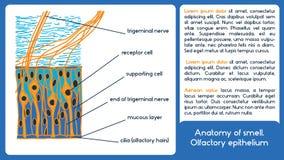 Anatomy of smell. Olfactory epithelium. royalty free illustration