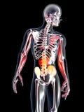 Anatomy - Stomach Royalty Free Stock Photo