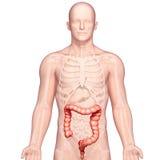 Anatomy of stomach transverse colon. 3d art illustration of Anatomy of stomach transverse colon Stock Photography