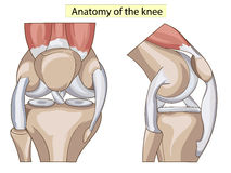 Anatomy. Structure knee joint vector Stock Photography