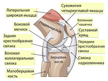Anatomy. Structure knee joint vector Royalty Free Stock Image