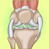 Anatomy. Structure knee joint vector pop art design Royalty Free Stock Image