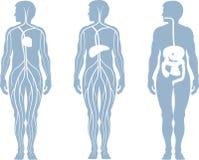 Anatomy system Stock Photos