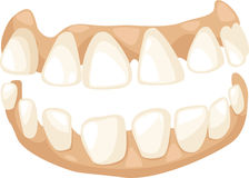 Anatomy teeth vector Stock Photos