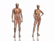 Anatomy, transparant muscles with skeleton. Anatomically correct medical model of the human body, man and women, muscles and ligaments showing transparent and stock illustration