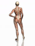Anatomy, transparant muscles with skeleton. Anatomically correct medical model of the human body, women, muscles and ligaments showing transparent and skeleton royalty free illustration