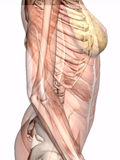 Anatomy, transparant muscles with skeleton. Stock Photo