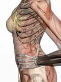 Anatomy, transparant muscles with skeleton. Stock Photography