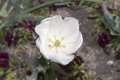 Anatomy of the tulip. Anatomy of the white tulip stock images