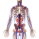 Anatomy of urinary system with veins and skeleton Royalty Free Stock Photo