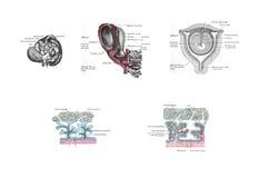 Anatomy of the uterus. From Anatomy of the human bodyHenry Gray, Warren Harmon Lewis - 1918 stock illustration