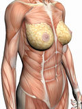 Anatomy of a woman. Stock Image