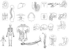 Anatomy1 Royalty Free Stock Images