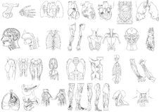 Anatomy2 immagine stock