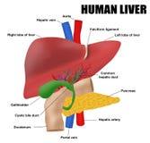 Anatomyof de menselijke lever Royalty-vrije Stock Foto's