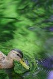 Anatra in acqua. Immagine Stock Libera da Diritti