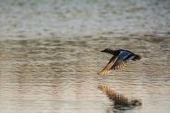 Anatra al disopra della superficie, querquedula vicino di volo della spatola della marzaiola di distanza fotografia stock libera da diritti