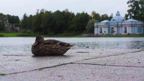 Anatra al parco di Tsarskoye Selo St Petersburg video d archivio