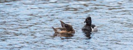 Anatra Anello-con il collo femminile & x28; Collaris& x29 dell'aythya; in primavera, si pavoneggia mentre nuotano con il suo comp Immagini Stock