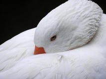 anatra bianca Fotografie Stock