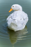 Anatra bianca Fotografia Stock Libera da Diritti