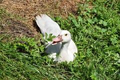 Anatra bianca che si siede nell'erba Immagine Stock Libera da Diritti