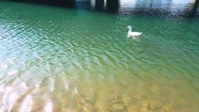 Anatra bianca con nuoto arancio del becco nello stagno un giorno soleggiato archivi video
