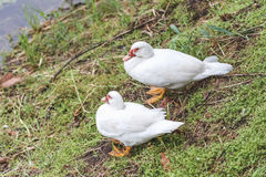 Anatra bianca delle coppie sveglie di amore che sta sull'erba vicino ad un lago Immagini Stock Libere da Diritti